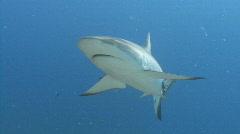 Shark swims at camera - stock footage