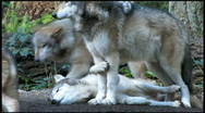 Stock Video Footage of Three Gray Wolves 3
