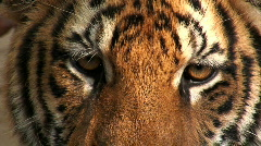Indochinese Tiger a Magnificent Animal Thailand Stock Footage
