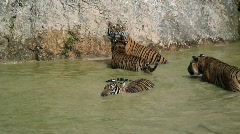 Indochinese Tigers Playing, Thailand Asia Stock Footage