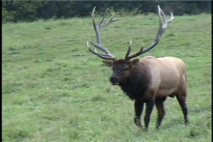 Bull Elk walking Stock Footage