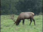 Stock Video Footage of Two Bull Elk grazing