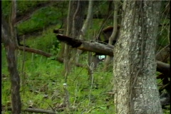 Boss Gobbler wild turkey chases Stock Footage