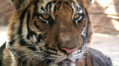 Stock Video Footage of  Indochinese Tiger a Magnificent Animal resting, Thailand