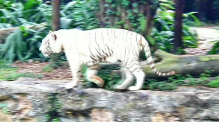 White tiger prowling around - stock footage