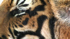 Eye of the Tiger, Thailand, Asia Stock Footage