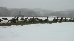 Geese Walking in Washington DC Snow Storm Stock Footage