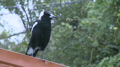 Magpie in the Rain 1080p Stock Footage
