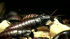 Madagascar cockroach - stock footage