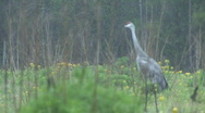 Stock Video Footage of Sandhill Crane Florida