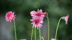 Pink gerbera daisies Stock Footage