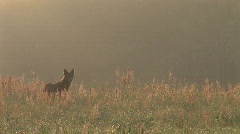 Coyote Sunrise Stock Footage