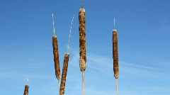 Cattails Stock Footage