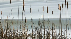 Dance of the Cattails Stock Footage