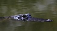 Lurking alligator Stock Footage