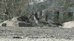 Stock Video Footage of Roadrunner