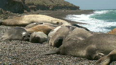 Seal rookery Stock Footage