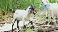 Stock Video Footage of Goats