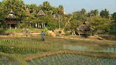 Worker feeding the buffalo in  the Rice Fields, Thailand, Asia Stock Footage