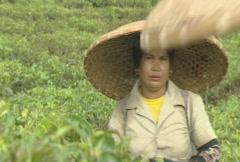 Indonesia tea plantation women picking tea leaves  Stock Footage