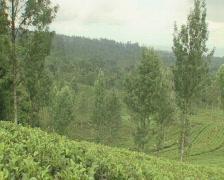 Indonesia tea plantation women picking tea leaves Stock Footage