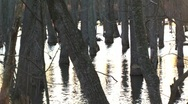 Stock Video Footage of Tree Trunks in swampy water