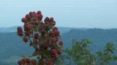 Wild Raspberries (HD) Stock Footage