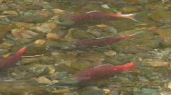 Kokanee salmon - 3 CLIPS Stock Footage