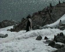 Adelie penguin Stock Footage