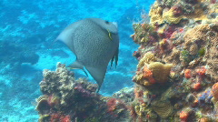 Angel fish eating from coral deep background Stock Footage