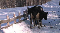 Holstien Cow Scratching Head Post Stock Footage