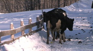 Stock Video Footage of Holstien Cow Scratching Head Post