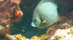 Angel fish swimming into cave Stock Footage