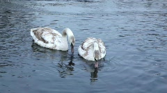 Young swans 02 Stock Footage