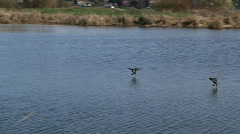 Ring necked ducks land Stock Footage