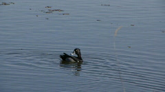 Ring-necked duck Stock Footage