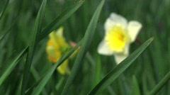 Daffodils CU - stock footage
