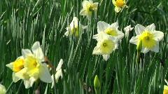 Daffodils CU Stock Footage