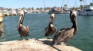 Stock Video Footage of  Flying Pelican Lands in Marina in San Carlos, Mexico
