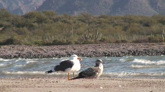 Birds of Different Colors flock Together San Carlos, Mexico Stock Footage