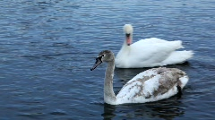 Swimming young swan Stock Footage