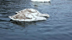 Young swans 04 Stock Footage