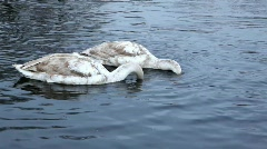 Young swans 05 Stock Footage