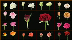 Montage opening and dying colorful roses wall 1a alpha matte Stock Footage