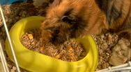 Stock Video Footage of eating guinea pigs
