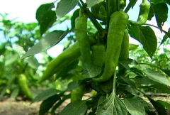 Green Hot Peppers - Close up Stock Footage