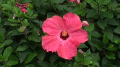 Hibiscus 2 - Hawaii Stock Footage