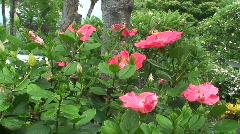 Hibiscus 3 - Hawaii Stock Footage