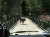 Stock Video Footage of Cows on the bridge