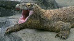 Komodo Dragon Yawning Stock Footage